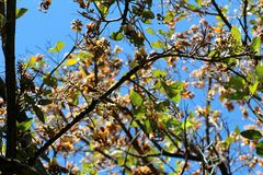 Tree Branches. They are native all over the temperate Northern hemisphere and South America. The blackberry grows to about 3 m in height. It makes an edible royalty free stock photos