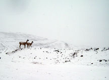 Native animals, (guanacos) of the Andes royalty free stock images