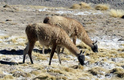 Native animals, (guanacos) grazing in the mountains Royalty Free Stock Photos