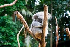 Native Australian animal koala resting on the wooden limbs surrounded by green Australian bushes and trees, grey Koala bear mammal royalty free stock photos