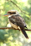 Kookaburra on branch Royalty Free Stock Photography