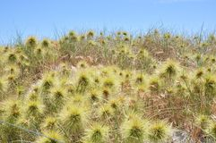 Native Australian Coastal Dune Plants Stock Image