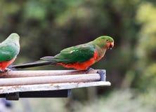 King parrot. Native Australian King-parrot Alisterus scapularis, taken near Kangaroo Valley stock image