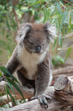 Native Australian Koala Royalty Free Stock Photography