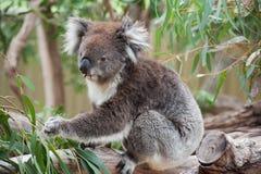 Native Australian Koala Stock Photo