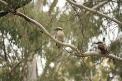Native Australian Kookaburras in a forest of gumtrees. In the morning sun, Tamworth, New South Wales, Rural Australia royalty free stock photo