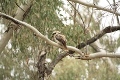 Native Australian Kookaburras in a forest of gumtrees. In the morning sun, Tamworth, New South Wales, Rural Australia stock photos