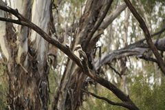Native Australian Kookaburras in a forest of gumtrees. In the morning sun, Tamworth, New South Wales, Rural Australia royalty free stock image