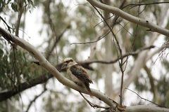 Native Australian Kookaburras in a forest of gumtrees. In the morning sun, Tamworth, New South Wales, Rural Australia royalty free stock photos