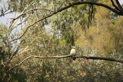 Native Australian Kookaburras in a forest of gumtrees stock images