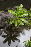 Native Banana Tree in Rainforest Creek Stock Photography