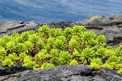 Native Beach Naupaka plant growing on black volcanic lava in Hawaii; Hill and more black lava in background. royalty free stock photography