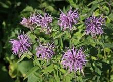 Native Bee Balm stock photos
