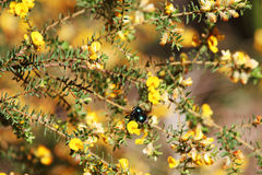 Native bee in yellow maleuca bush. Currimundi Lake, Sunshine Coast, Queensland, Australia Royalty Free Stock Photos