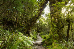 Native beech forest, New Zealand Royalty Free Stock Image