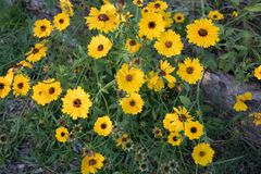 Native Blooming Coreopsis in Garden. Coreopsis, or `tick seed`, is a common wildflower along the North Carolina Coast and an important species for birds and Stock Photography