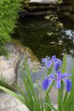 Native blue Louisiana iris near a pond stock photos