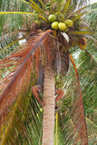 Native boy climbing on palm tree trunk Stock Images