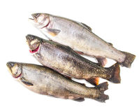Native brook trout isolated over a white background. Some native brook trout isolated over a white background royalty free stock photography
