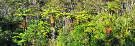 Native Bush Background Panorama, New Zealand. Native bush background panorama featuring giant tree ferns. Abel Tasman National Park, New Zealand Royalty Free Stock Photography