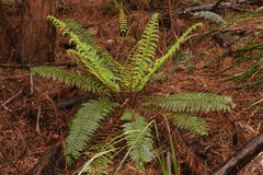 Native bush forest frern. Native bush forest fern Royalty Free Stock Photos