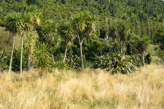 Native bush in New Zealand. Dry summer grassland meets lush green native bush in New Zealand Stock Image