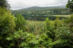 Native bush of New Zealand Stock Image