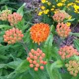 Native butterfly weed first bloom Stock Photo