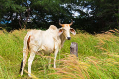 Native Cattle. The Native Cattle of Thailand Royalty Free Stock Photography