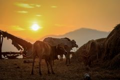 The native cattle are on a hilltop in the morning. stock photos