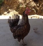 Native chicken. Native farm chicken with its chicks Royalty Free Stock Photography