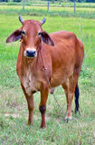 Native cow. Beef cow in grassland,native cow in thailand Royalty Free Stock Photo