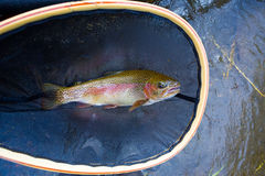 Native Deschutes Redside Rainbow Trout Royalty Free Stock Photo