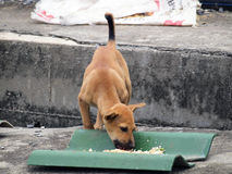 Native dog eating his food Stock Images