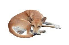 Native thai dog Stock Photos