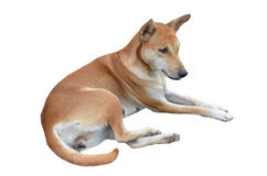 Native thai dog Royalty Free Stock Images