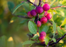 Native east coast berry bush. Delaware Royalty Free Stock Photo