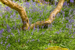 Native English Bluebell in the field. Native English Bluebell outside in the park or nature Royalty Free Stock Images