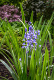 Native English Bluebell in the field. Native English Bluebell outside in the park or nature Royalty Free Stock Image