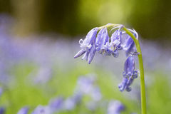 The native English Bluebell Royalty Free Stock Photos