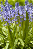 Native english bluebells Stock Image