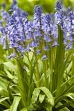 Native english bluebells Stock Image