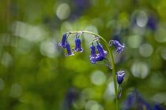 Native English Bluebells Backlit Royalty Free Stock Photos