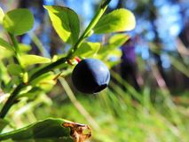Native estonia blueberry royalty free stock images