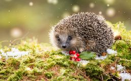 Native European Hedgehog in Winter with Red Berries, Snow and green moss. Hedgehog in snow in December with snow on the ground, red berries and green moss. Due royalty free stock photography