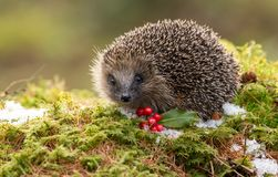 Native European Hedgehog in Winter with Red Berries, Snow and green moss. Hedgehog in December with snow on the ground, red berries and green moss.  Due to Stock Photography