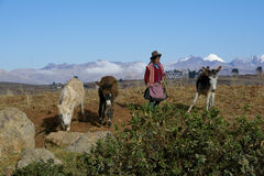 Native female farmer with donkeys, Peru Royalty Free Stock Photo