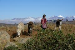 Native female farmer with donkeys, Peru royalty free stock photo