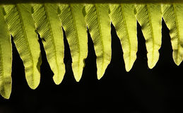 Native ferns. Detailed view of fern fronds from the New Zealand forests Stock Image