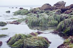 Native grass on Monterey Bay. In California.  Ocean, rocks and vegetation prove to be an interesting backdrop for this ocean photograph Stock Photos